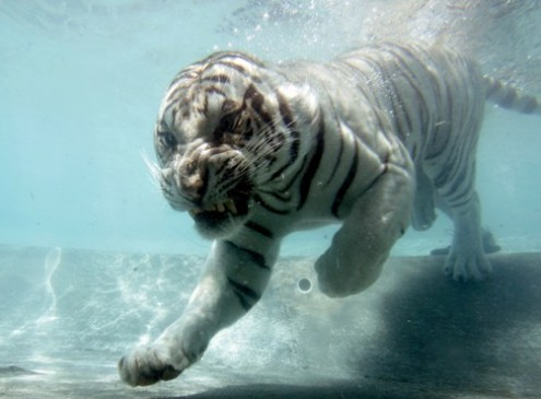 Wild Tiger Population Count Increasing But Are Species Really Increasing? Leonardo DiCaprio Celebrates Good News
