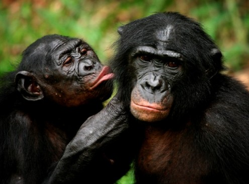 Attractive Bonobo Females Are More Likely To Win Conflicts against Males, Study