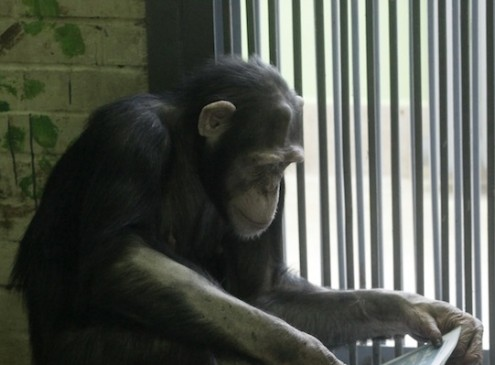 Chimps Display Personality Traits Similar to Humans, Study