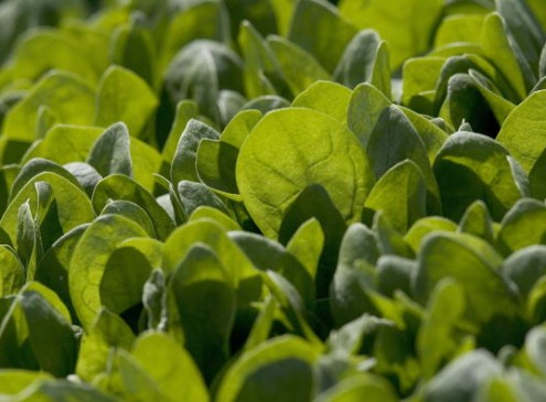 Spinach Plants That Can Detect Bombs Made Possible Through 'Plant Nanobionics'