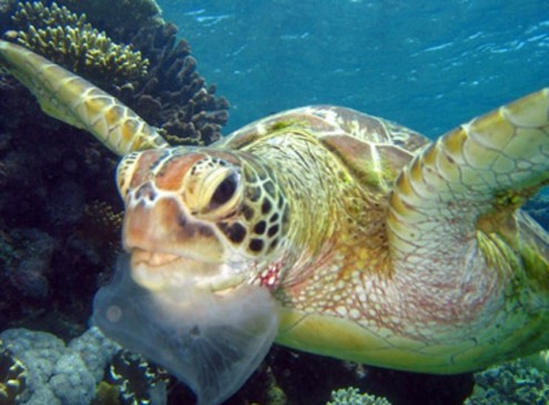 Endangered Turtles Eating More Plastic than Ever, Study