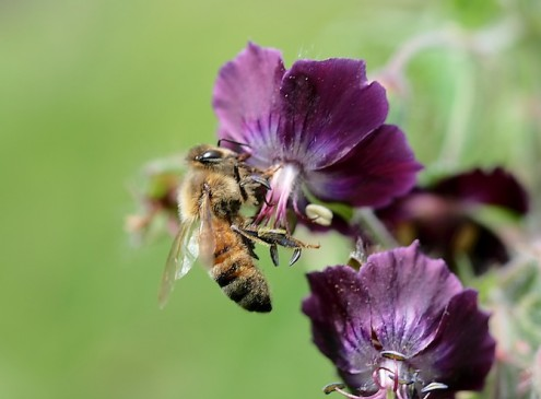 Worker Bees' Size Shrinking Due to Pesticide Use, Study