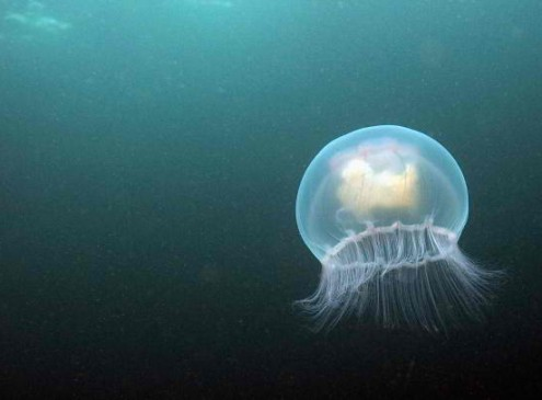 Be Ready For The Next Quantum Revolution: Jellyfish Lasers