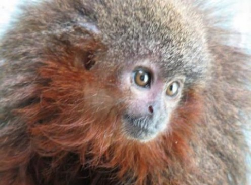 New Monkey Species That Purrs Like Cat Found In Amazon Rainforest