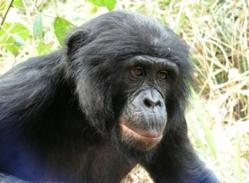 Bonobos Losing Habitat at a Fast Pace, Study