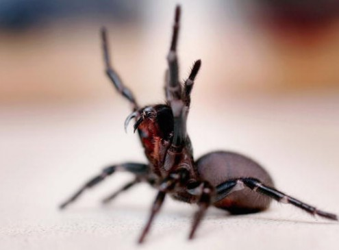 Deadly Spiders Offer Hope To Stroke Patients