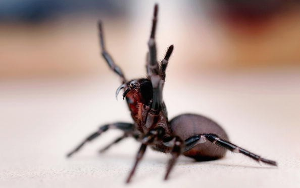 Funnel Web Spiders Might Have The Cure For Stroke