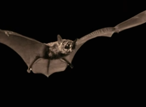 White Nose Syndrome Threatens Bats