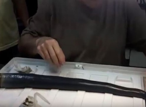Scientists Found Live Rare Giant Shipworm In The Philippines For The First Time [Video]