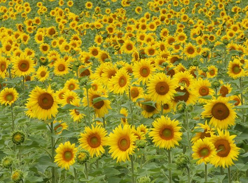 Michigan State University Study: Sunflower Seeds Could Be Source Of Toxic Mold [Video]