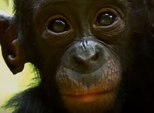 George Washington University Claims Humans Came From Bonobos Not Common Chimps [Video]