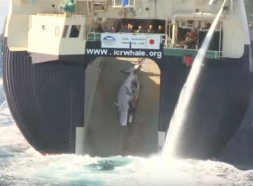 Japan's True Colors Are About To Be Revealed; Whaling Footage Will Show The Truth {VIDEO]