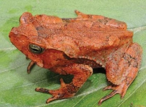 Biologists Discover New Toad Species in Peruvian Yungas