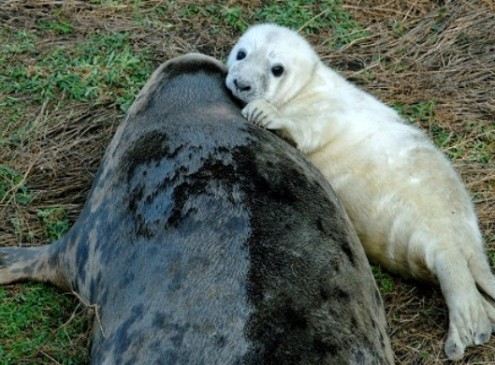 Seals Use off Shore Wind Turbines to Hunt for Food, Study