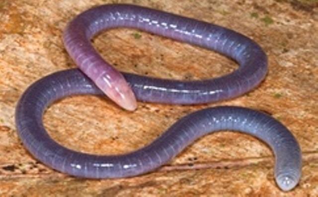 Underground Amphibian Evolved Unique Ears to Track Preys and Predators, Study.