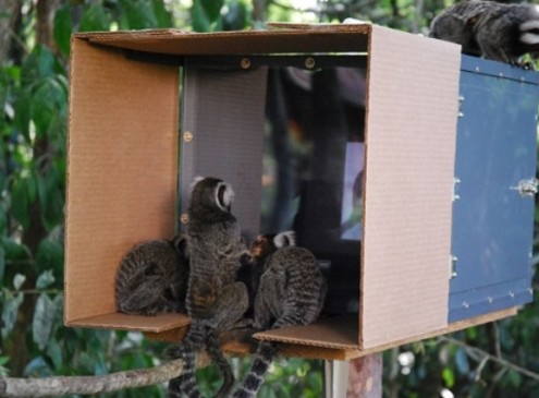 Wild Monkeys Learn Tricks by Watching Videos, Study